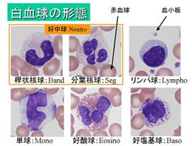 白血球の形態